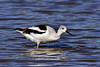 Avocet, American. Maricopa County, Arizona. #127.685.