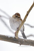Sparrow, Chipping. Prescott Valley Arizona, #2131.253.