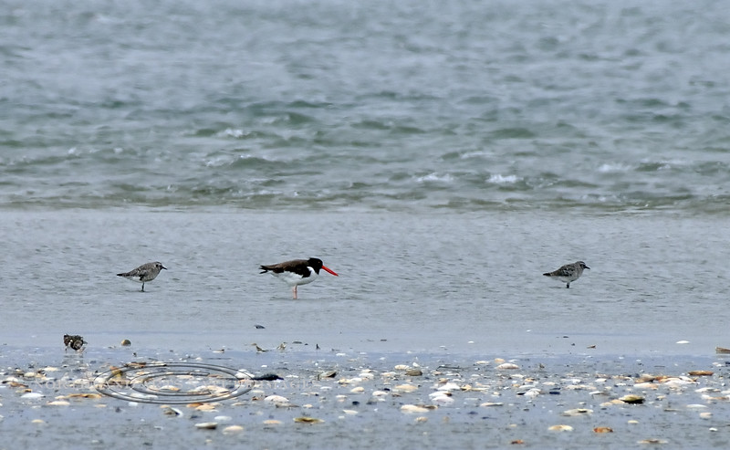 Oystercatcher, American 2020.9.18#4625.1X. Stone Harbor Point restricted area, Cape May, New Jersey.