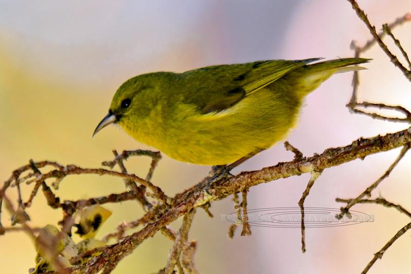 Amakihi. An endemic forest bird. Hakalau Forest, Mauna Kea, Hawaii. #23.1367. 2x3 ratio format.