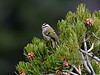Kinglet, Golden-crowned. Coconino County, Arizona. #1229-814.