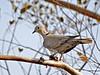 Dove, Collared 2007.3.9#0377. KOA, Needles California.