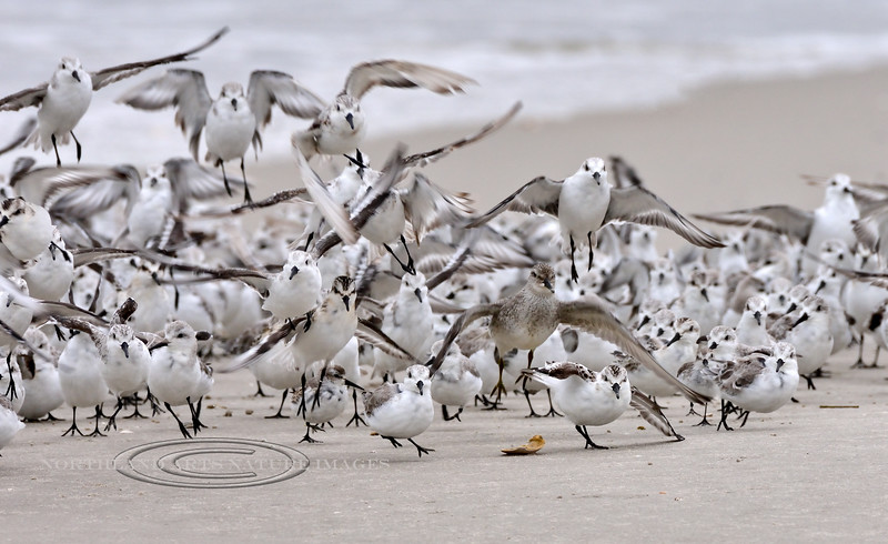 Red Knot 2020.9.18#4476.3. A fly up from a Petrel swooping down on this group of Sanderlings. The Red Knot seemed to be using the flock of Sanderlings to hide in. Stone Harbor Point, Cape May, New Jersey.