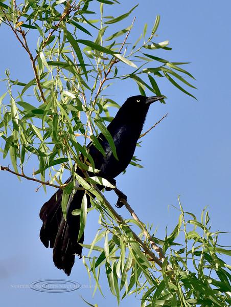 Grackle-Great-tailed. Yavapai County, Arizona. #59.029.