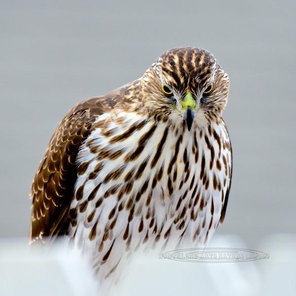 Raptors & allies-Hawk, Cooper's, first year juvenile. Yavapai County, Arizona. #1117.1087.