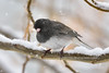 Junco, Dark-eyed. Prescott Valley Arizona. #2131.791.
