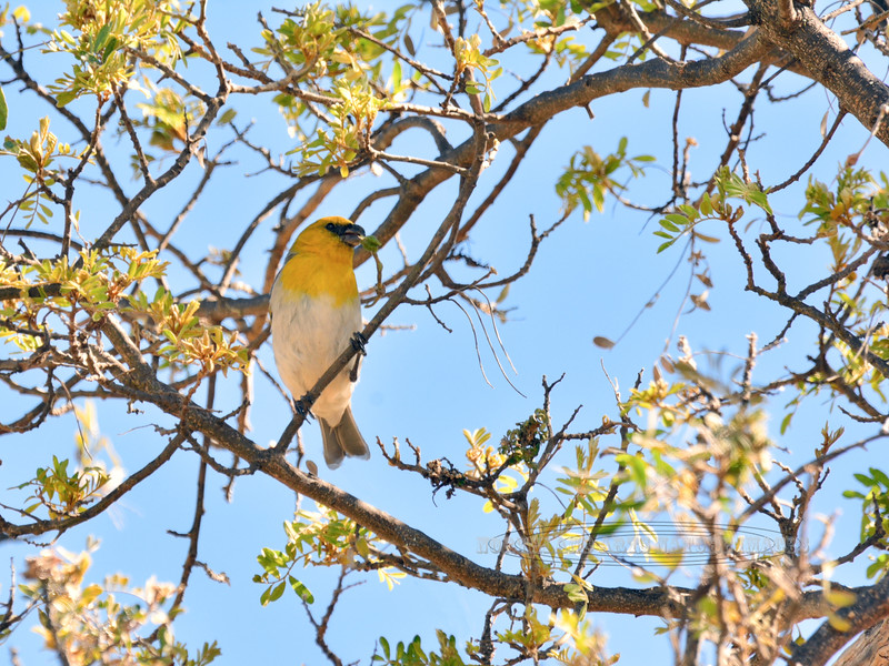 Palila. An endangered endemic Honeycreeper of the dry forest. Pu'u La'au, Mauna kea, Hawaii. #26.401.
