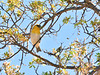 Palila. An endangered endemic Honeycreeper of the dry forest. Pu'u La'au, Mauna kea, Hawaii. #26.401. 3x4 ratio format.
