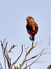 Crossbill, Red 2017.11.29#561. South rim Grand Canyon, Coconino County Arizona.