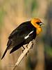 Blackbird, Yellow-headed. Rocky Mountains. #525.801. 2x3 ratio format.