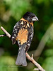 Grosbeak, Black-headed. Santa Rita Mountains Arizona. #522.2697.