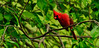 Cardinal, Northern 2012.4.28#051. Peace Valley, Bucks County Pennsylvania.