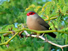 Waxbill, Common 2015.2.2#535. Near Honokohau Harbor, Kona coast Hawaii.