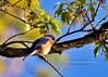 Bluebird, Eastern 2010.5.4#020. Resting in a Chesnut Oak. Geigle Hill, Bucks County Pennsylvania.