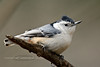Nuthatch, White-breasted, eastern 2016.1.4#940. Peace Valley, Bucks County, Pennsylvania.