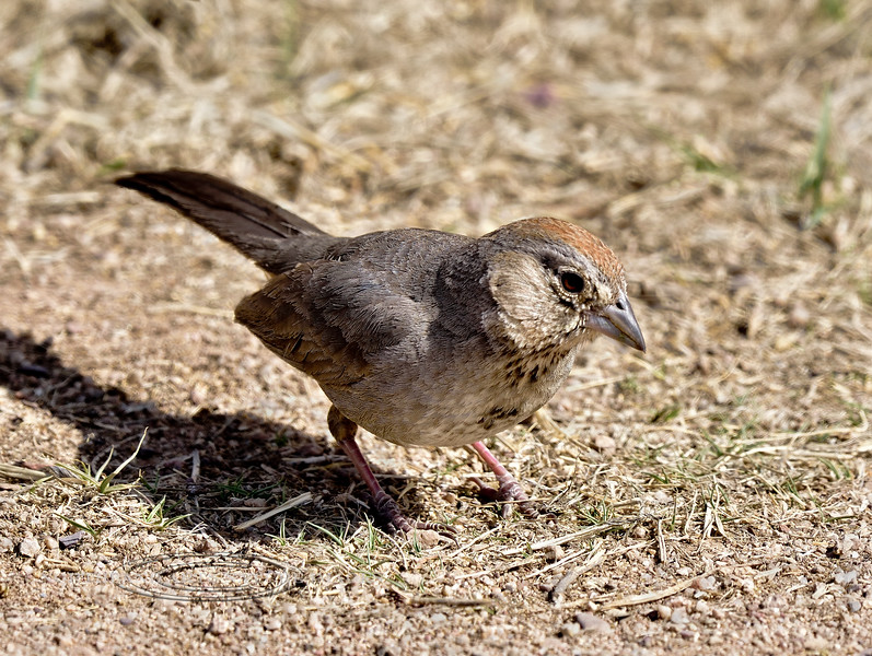 Towhee, Canyon. San Pedro River, Arizona. #321-795.
