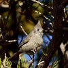 Titmouse, Juniper. Kaibab Forest, Arizona. #116.075.