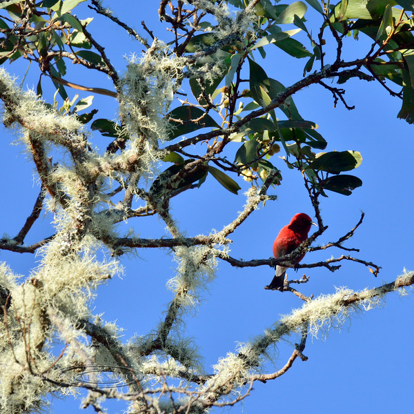 Apapane. An endemic honeycreeper of the high elevation forest in a Koa tree with typical lichen covered branches. Hakalau Forest, Mauna Kea. Hawaii. #23.1439.