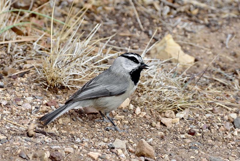 Chickadee, Mountain 2017.11.29#907. Grand Canyon, Coconino County Arizona.