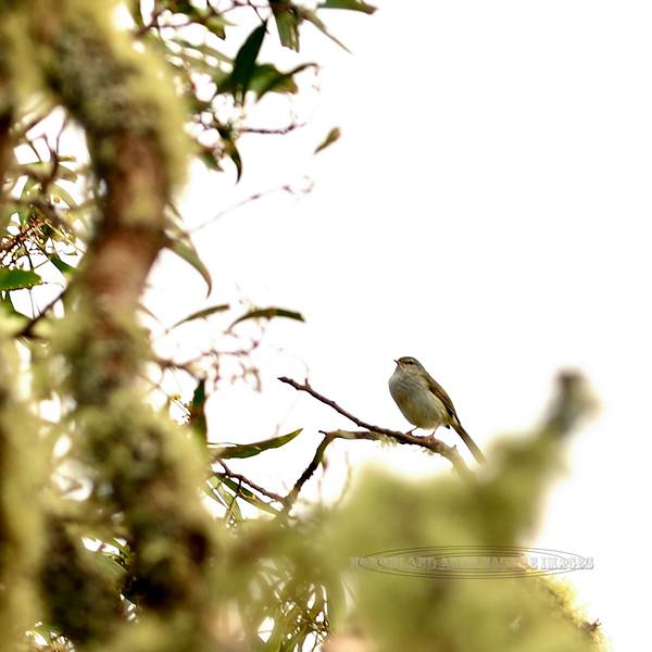 Japanese Bush-Warbler. An alien bird of Hawaiin forests that is difficult to spot in thick brush that it inhabits. Keanakolu Road, Mauna kea, Hawaii. #26.291. 1x1 ratio format.