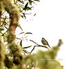 Japanese Bush-Warbler 2015.2.6#291. An alien bird of Hawaiin forests that is difficult to spot in thick brush that it inhabits. Keanakolu Road, Mauna kea, Hawaii.
