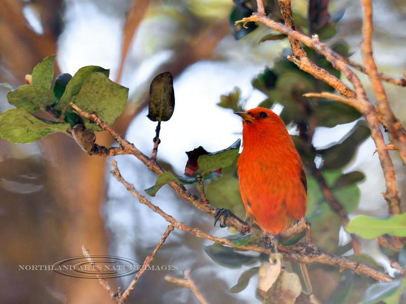 Akepa 2015.2.3#1421. An endemic endangered high mountain forest honeycreeper. Hakalau Forest, Mauna Kea, Hawaii.