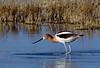Avocet, American 2019.4.8#313. Male in breeding color. Cochise lake, Wilcox Arizona.