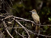 Flycatcher, Brown-crested. Santa Rita Mountains Arizona. #521.1996.