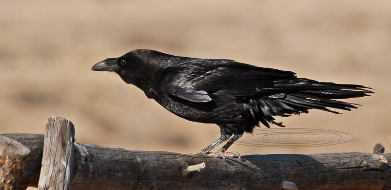 Raven, Common. Painted Desert,AZ. #32.0108. 1x2 ratio format.