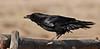 Raven, Common 2007.3.2#0108. Painted Desert, Arizona.