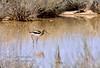 Avocet, American 2019.4.9#804. A mature male in breeding colors. Cochise Lake, Wilcox Arizona.