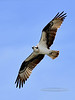 Raptors & allies-Osprey. Clearwater River Idaho. #71.331.