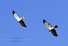 Raptors & allies-Harrier, Northern. Yavapai County Arizona. #119.031.