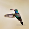 Hummingbird, Broad-billed. Patagonia, Arizona. #321.1392.