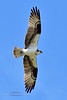 Raptors & allies-Osprey. Clearwater River Idaho. #71.316.