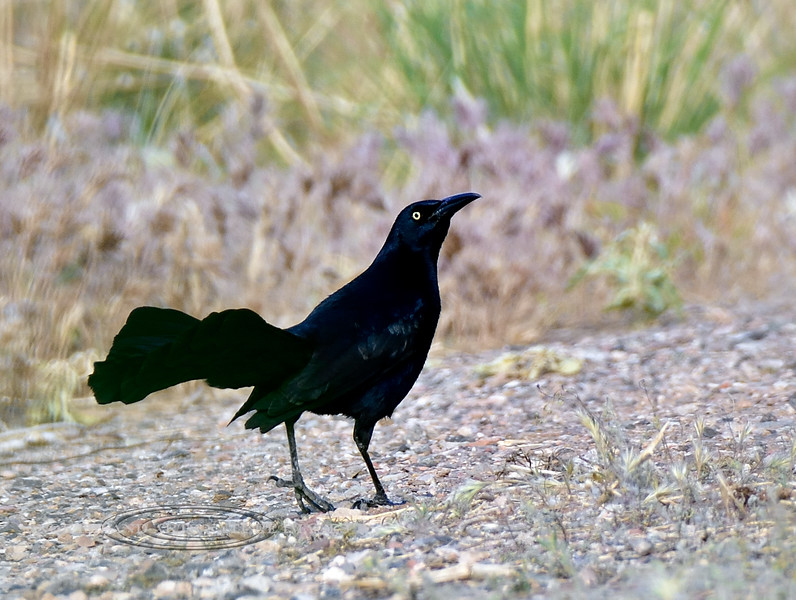 Grackle, Great-tailed. Yavapai County, Arizona. #59.084.