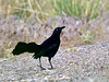 Grackle, Great-tailed 2018.5.9#084. Sedona Wetlands, Yavapai County Arizona.