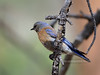 Bluebird, Western 2018.6.6#004. Kaibab Forest, Coconino County Arizona.