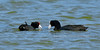 Coot, Hawai'i. Aimakapa Pond, Hawaii. #27.647. 1x2 ratio format.