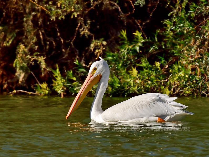 Pelican, White. Maricopa County, Arizona. #127.1555.