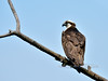Osprey. South Fork Clearwater River, Idaho. #514.753. 3x4 ratio format.