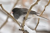 Junco, Dark-eyed. Prescott Valley Arizona. #1231.784.
