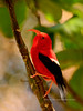'I'iwi. An endangered endemic wet forest Honey Creeper. Hakalau Forest, Mauna Kea, Hawaii, #23.1400. 2x3 ratio format.