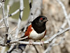 Spotted Towhee 2017.11.18#154. Mingus Mountain, Yavapai County Arizona.