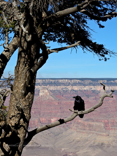 Raven, Common 2017.11.28#044. South rim Grand Canyon, Arizona.