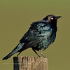 Blackbird, Brewer's. Camas Prairie, Idaho. #514.651.