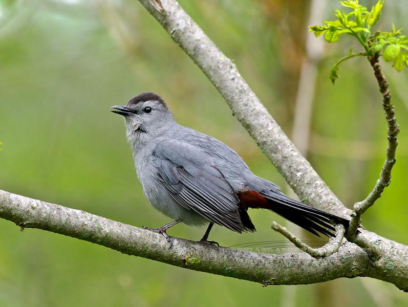 Catbird 2012.5.5#099. Peace Valley, Bucks County Pennsylvania.