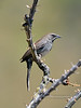 Sparrow, Five-striped 2019.6.4#363. Pima County Arizona.