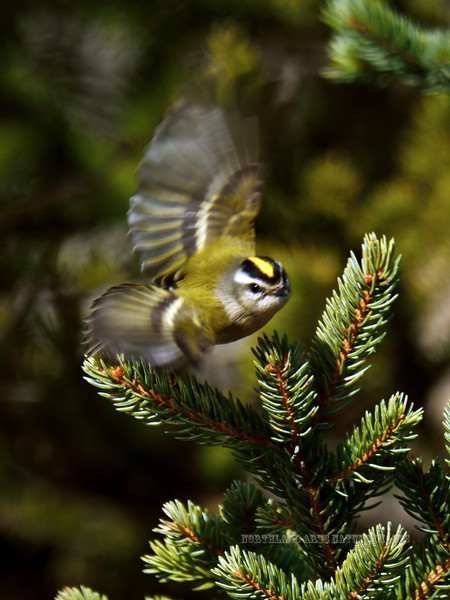 Kinglet, Golden-crowned. A brightly colored spring female. South Central, Alaska. #413.118. See the Alaska Bird Gallery for more Birds of the  North Country.
