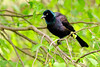 Grackle, Common. Bucks Co.,PA. #428.188.